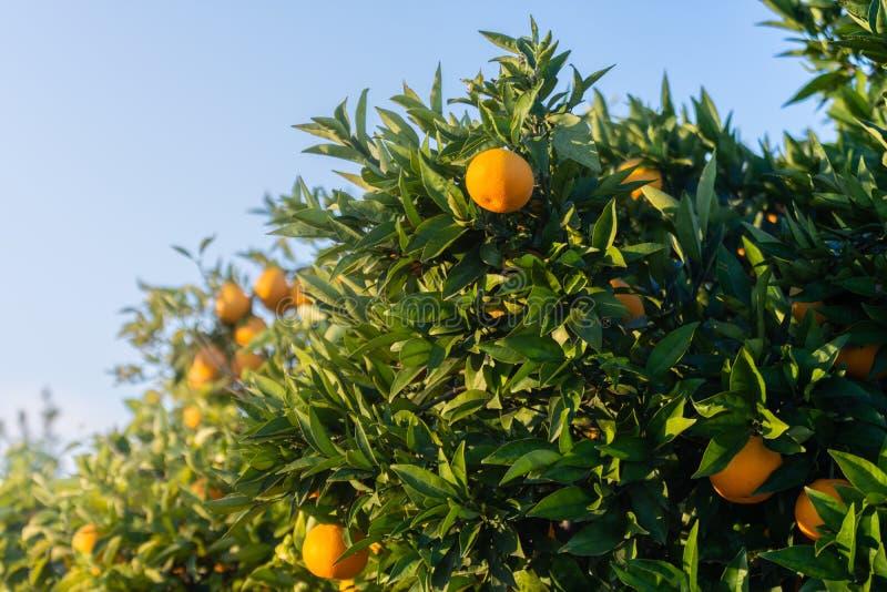 Orange garden. Detail of oranges on the tree. Spanish fruit stock photography