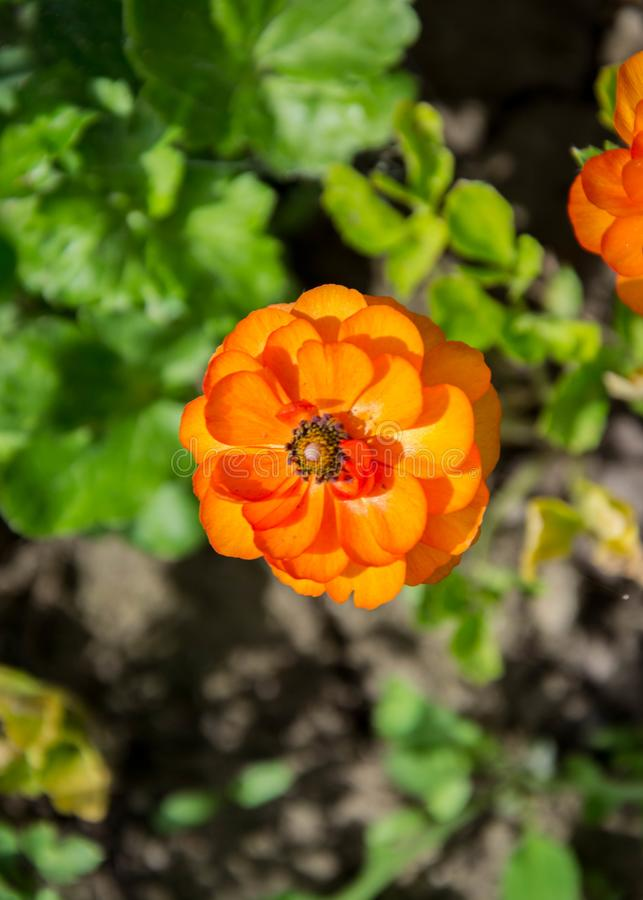 Small orange flower with black stamens, nature concept, blooming flower in the spring. Orange garden flower with black center, springtime blossoms, nature close royalty free stock photography