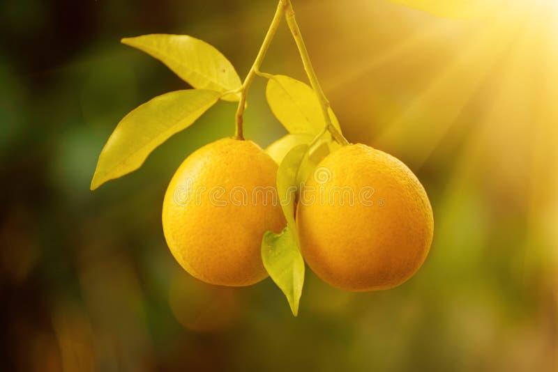 Download Orange garden with fruit stock photo. Image of background - 83710462