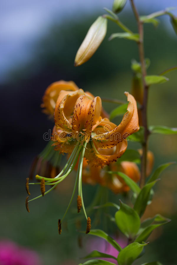 Orange garden lily stock image