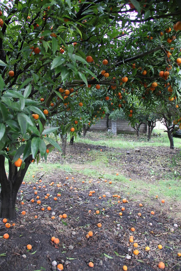 Orange garden. Northern iran oragne trees garden shomal crops products production productive produce profound proactive tangerines grapefruits lime lemon trees royalty free stock image