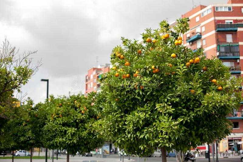Orange garden with ripe tangerines hanging from tree branches, Valencia, Spain. Summer background. Copy space stock photo
