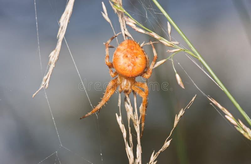 Orange Garden Spider Stock Photos