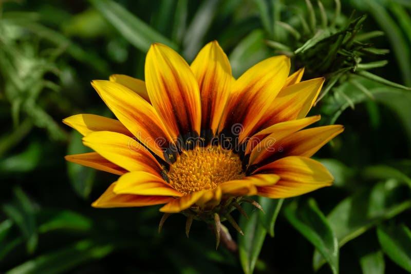 Orange Gazania Rigens or Treasure flower, African Daisy in full bloom on flower bed royalty free stock image