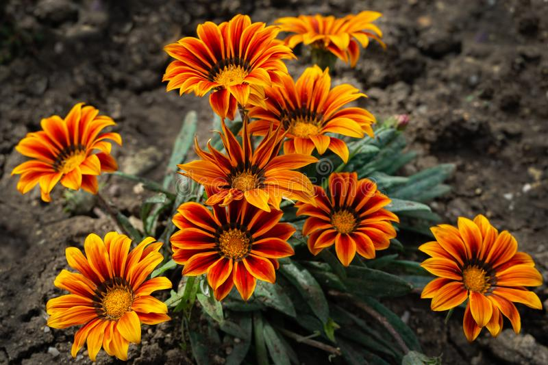 Orange Gazania Rigens or Treasure flower, African Daisy in full bloom on flower bed. Selective focus royalty free stock photography