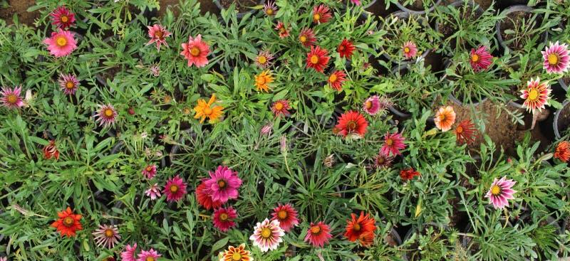 Orange Gazania Rigens or Treasure flower, African Daisy in full bloom on flower bed. Selective focus stock images