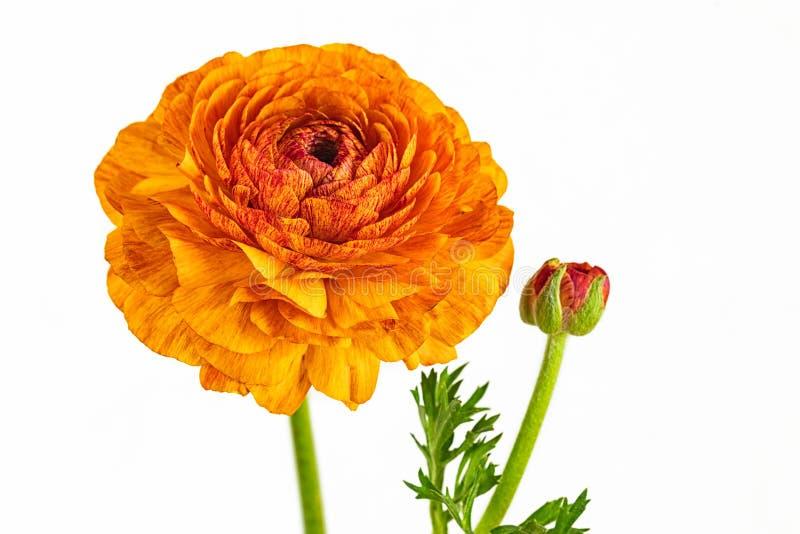 Orange geblühte Butterblume stockbilder