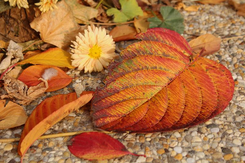 Orange gefallene Blätter und Herbstblumen stockfotos