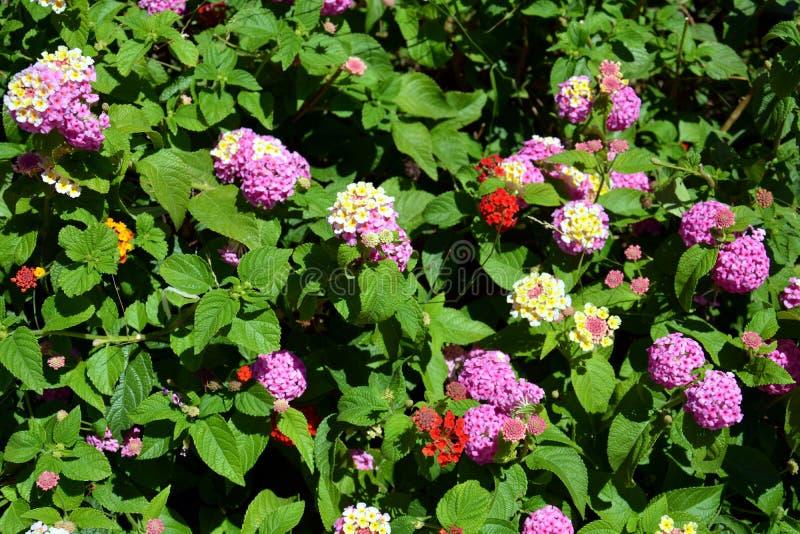 Orange, Gelb, Weiße Blumen Des Rosas, Hintergrund Stockbild - Bild ...