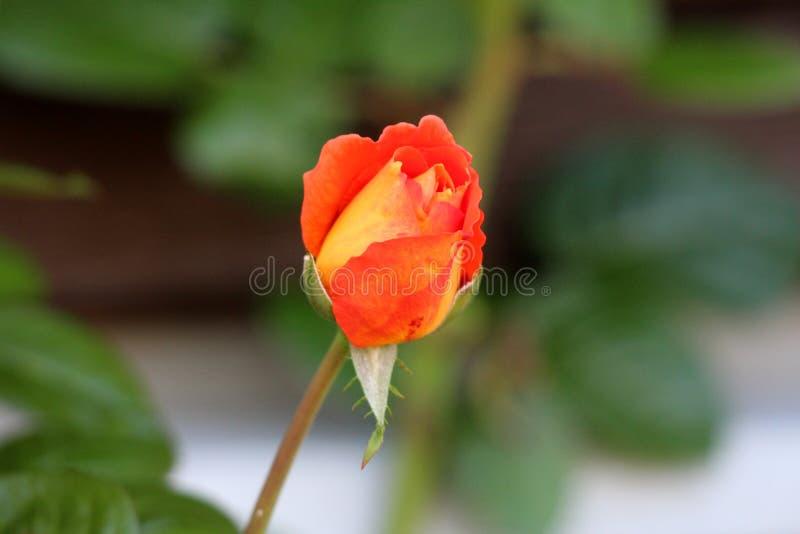 Orange Gelb zu hellem Rotem sondern das rosafarbene Beginnen aus sich zu öffnen und zu blühen stockfotografie