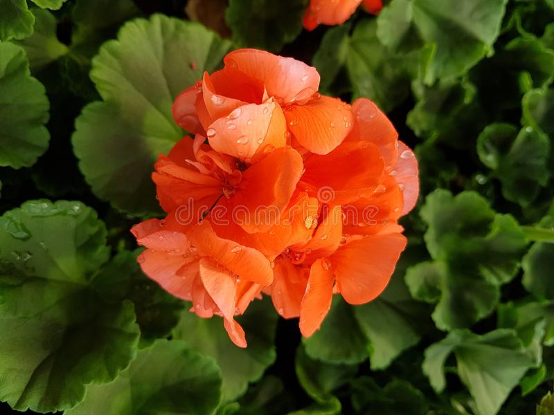 Orange geranium flower. With water drops royalty free stock image
