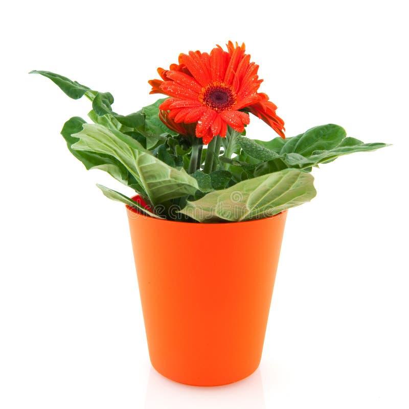 Orange Gerber stockbilder