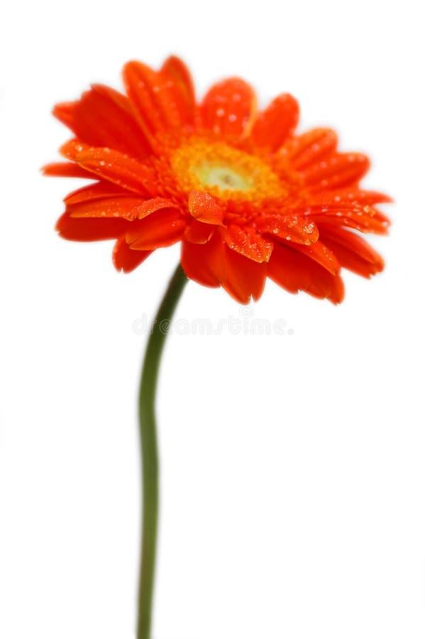 Orange gerber stockfoto
