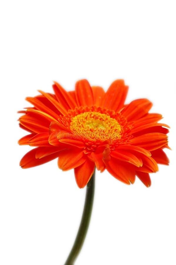Orange gerber arkivfoto