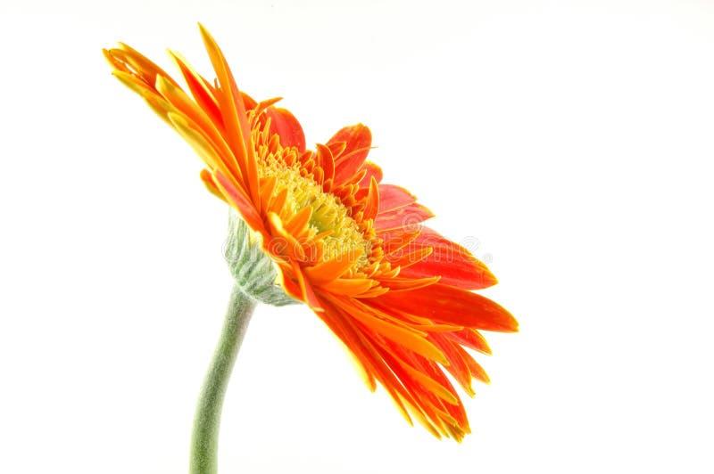 Orange gerber daisy royalty free stock photos