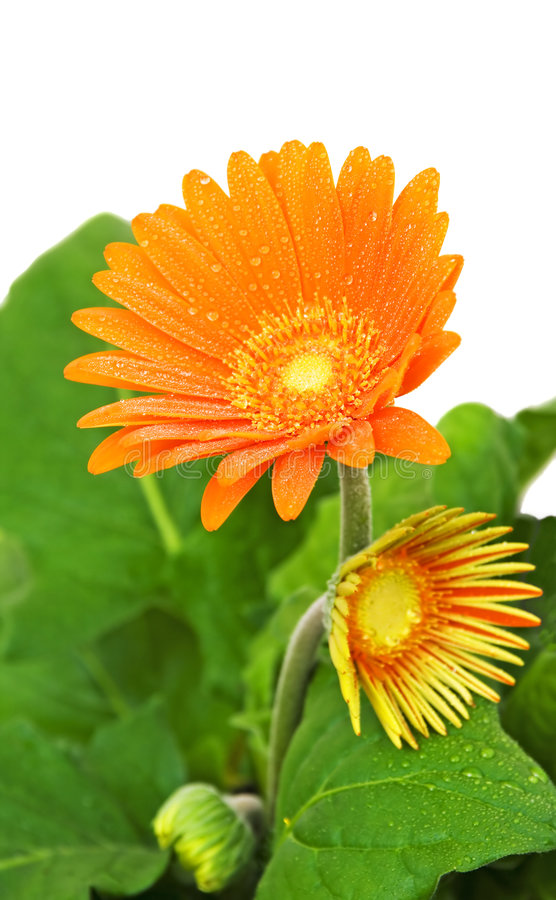 Orange gerber daisy in bloom stock photos