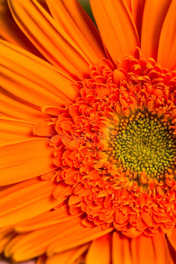 Free Orange Gerber Daisy Flower In Bloom Royalty Free Stock Photography - 130414497