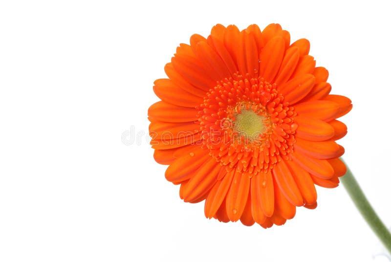 Orange Gerber daisy on white stock photos