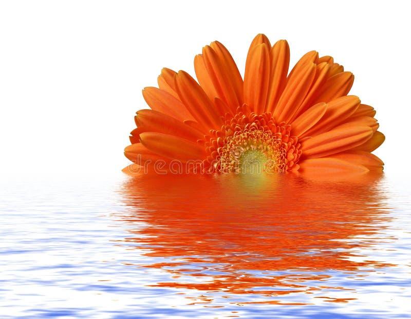 Orange gerber an der Wasseroberfläche lizenzfreie stockfotos