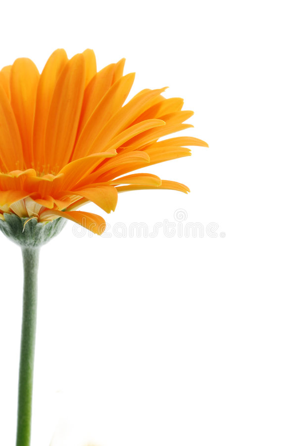 Orange Gerber Gänseblümchen   lizenzfreie stockfotos