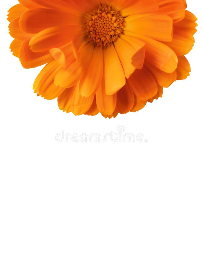 Orange gerber isolated on white background stock photo
