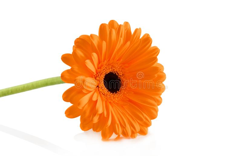 Orange gerber p? vit bakgrund royaltyfri bild