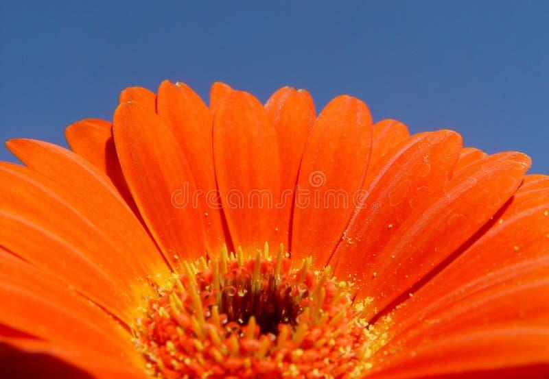 orange gerbera royalty free stock image