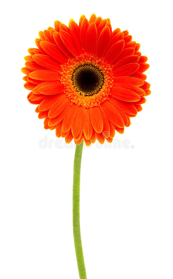 Orange gerbera royalty free stock images