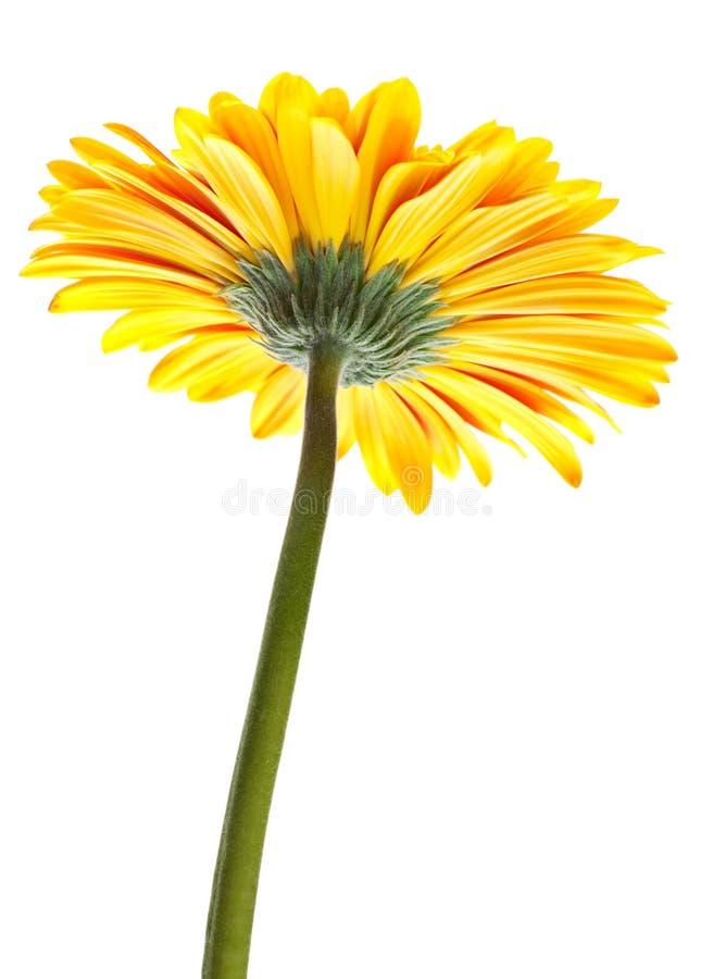 Download Orange gerbera stock image. Image of gerbera, white, flower - 26153383