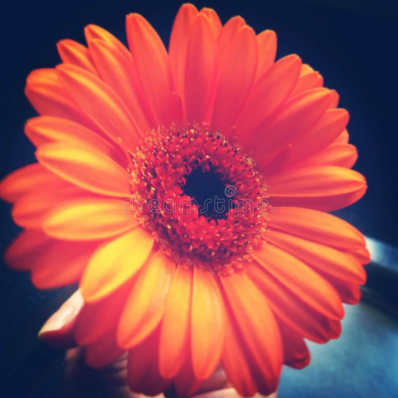 Orange Gerbera stockbild