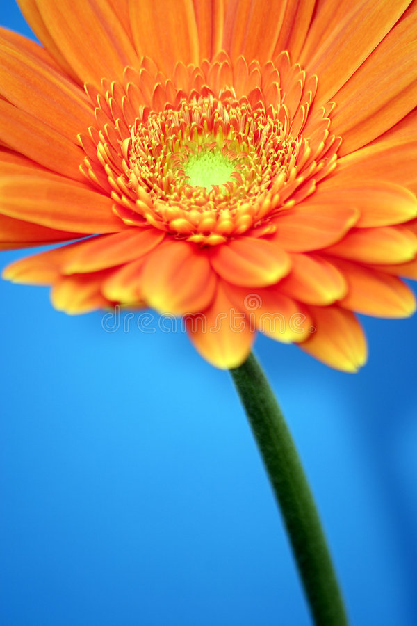 Free Orange Gerbera Stock Image - 71351