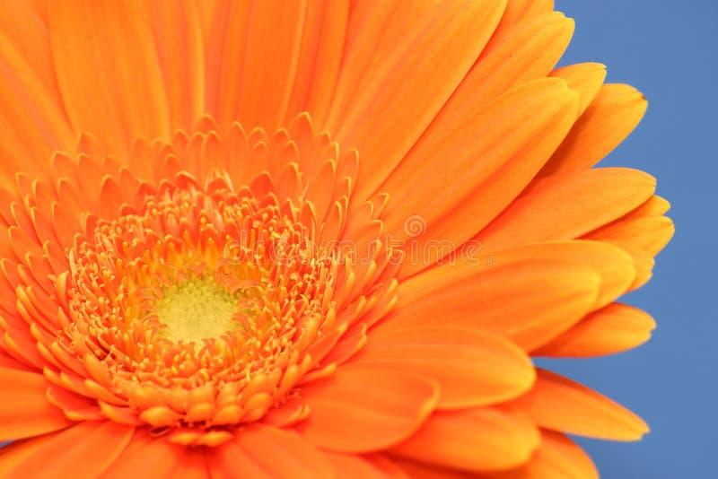 Orange Gerbera stockfotografie