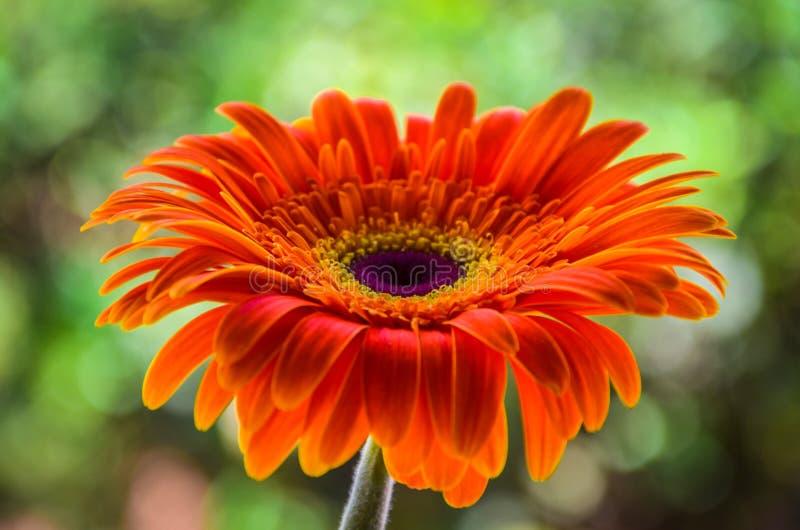 Orange gerbera royaltyfri foto