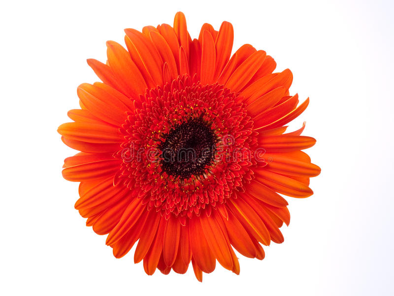 Orange gerbera against white royalty free stock images