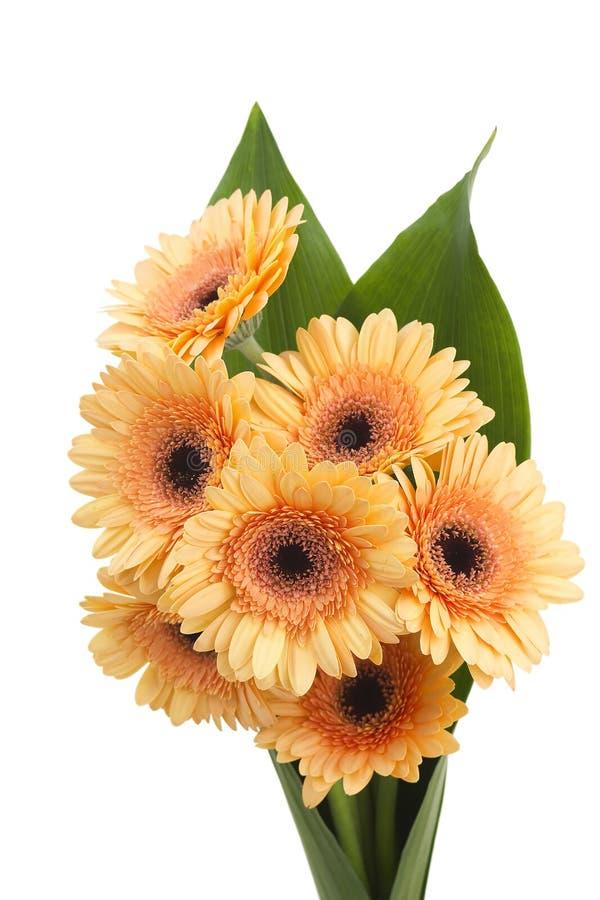 Orange gerbera daisies stock images