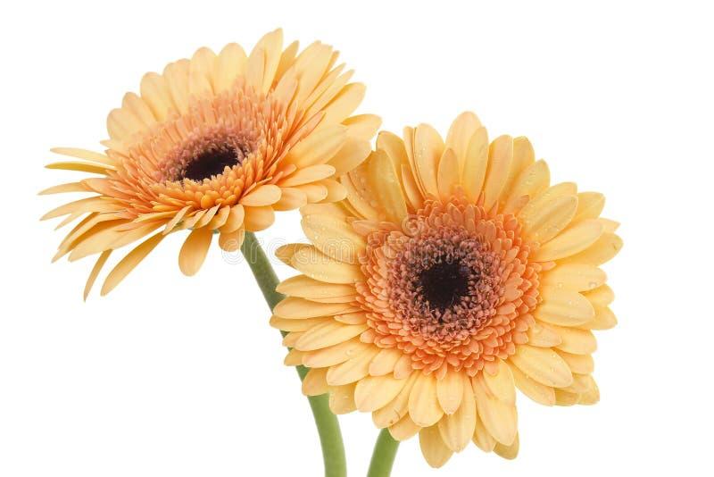 Orange gerbera daisies royalty free stock photos