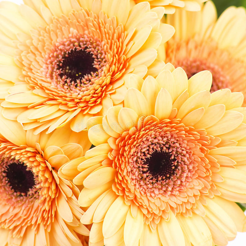 Orange gerbera daisies royalty free stock images
