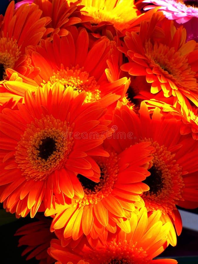 Orange Gerbera Daisies  stock photo