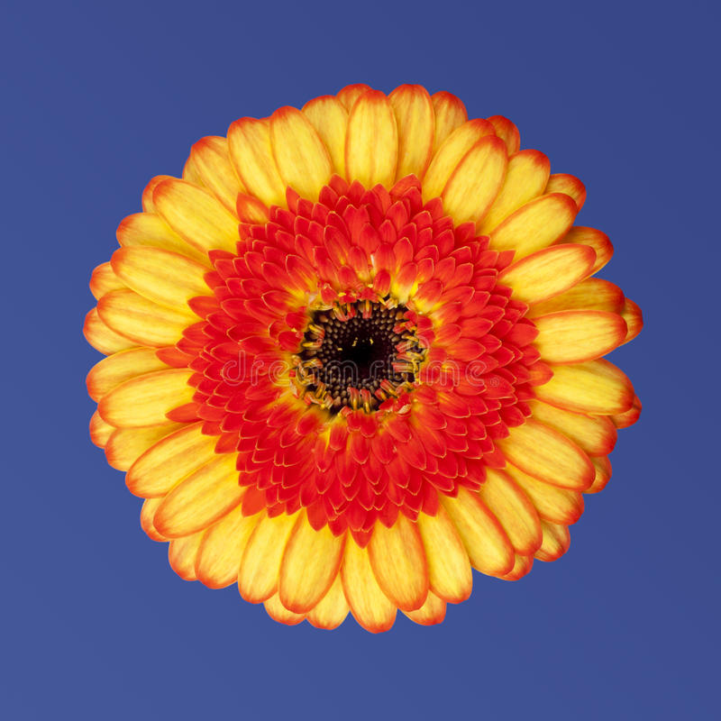 Download Orange gerbera daisy stock image. Image of flower, yelllow - 20868517