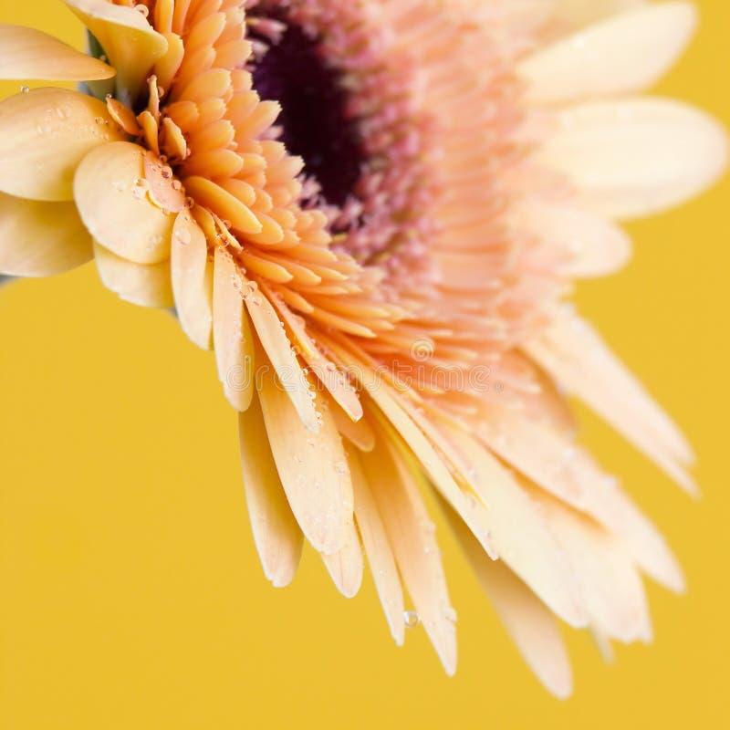 Orange gerbera daisy stock photography