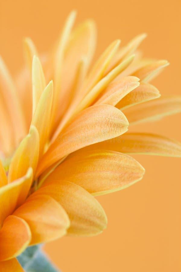 Orange gerbera daisy stock image