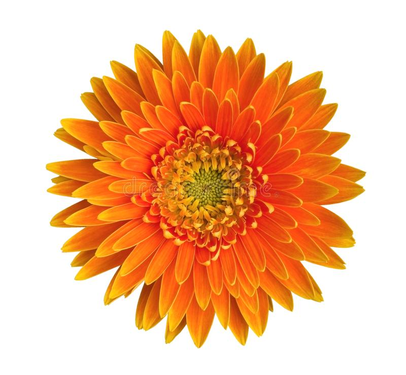 Orange gerbera daisy flower top view isolated on white background, path royalty free stock photos