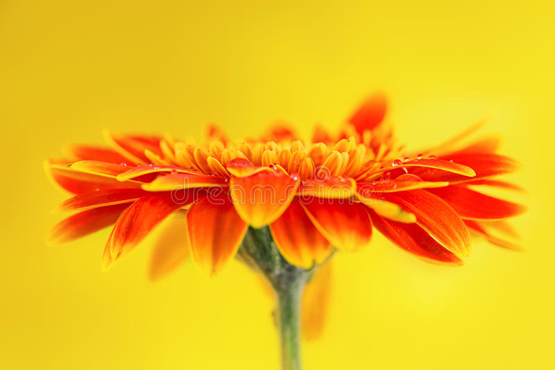 Orange gerbera daisy flower on yellow background stock photo
