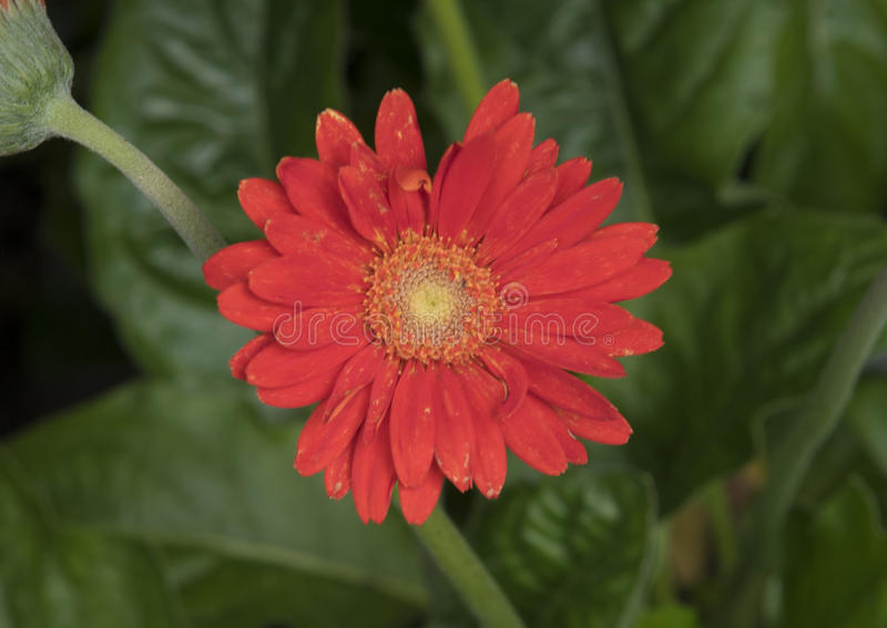 An orange Gerbera Daisy royalty free stock images