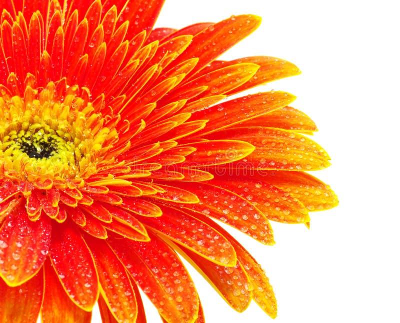 Download Orange gerbera flower stock photo. Image of flora, plant - 14052994