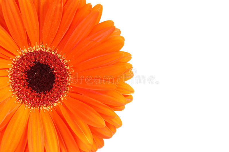 Download Orange Gerbera flower stock photo. Image of isolated - 14789062