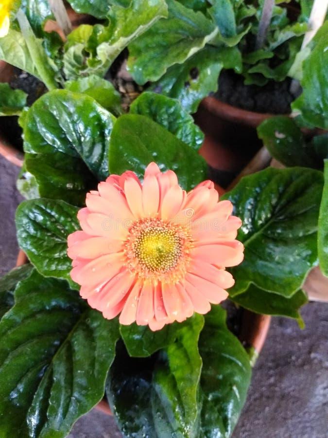 Orange gerbera flower blooming in garden. Orange gerbera flower blooming in pot royalty free stock photo