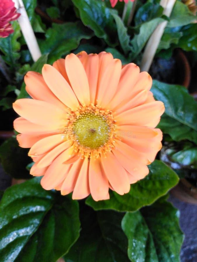 Orange gerbera flower blooming in pot royalty free stock image