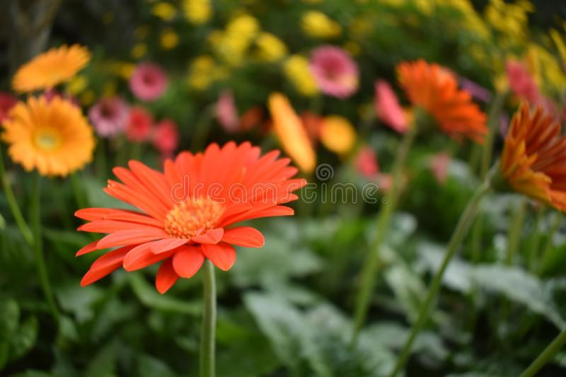 Orange gerbera flower with blur background royalty free stock photography