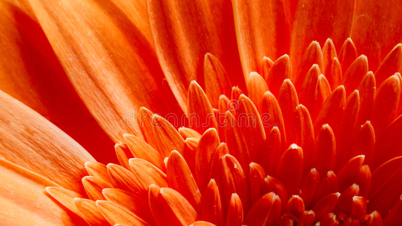 Orange Gerbera Flower CloseUp Detail Petals. Macro Photo Of Orange Red Gerbera Flower CloseUp Detail Petals Background stock photo